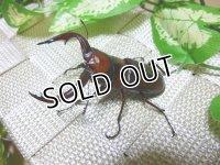 日本で一番美しい!トカラノコギリクワガタ☆♂61ミリ成虫単品販売