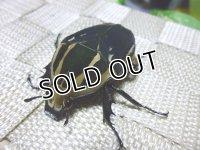ウガンデンシスオオツノハナムグリ(カナブン)☆新成虫♀53ミリ単品販売  J