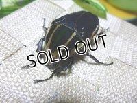 ウガンデンシスオオツノハナムグリ(カナブン)☆新成虫♀54ミリ単品販売  L