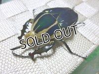 ウガンデンシスオオツノハナムグリ(カナブン)☆新成虫♂68ミリ単品販売 D