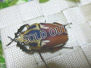 画像2: ウガンデンシスオオツノハナムグリ(カナブン)☆新成虫♂61ミリ単品販売 D
