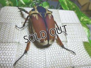 画像3: ウガンデンシスオオツノハナムグリ(カナブン)☆新成虫♂61ミリ単品販売 D