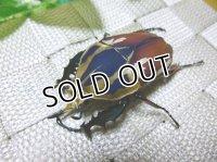 ウガンデンシスオオツノハナムグリ(カナブン)☆新成虫♂61ミリ単品販売 D