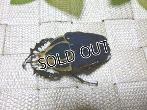 画像2: ウガンデンシスオオツノハナムグリ(カナブン)☆新成虫♂57ミリ単品販売 E