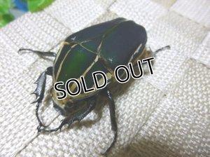 画像1: ウガンデンシスオオツノハナムグリ(カナブン)☆新成虫♀54ミリ単品販売 F