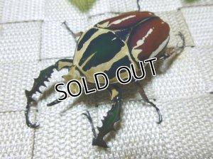 画像1: ウガンデンシスオオツノハナムグリ(カナブン)☆新成虫♂65ミリ単品販売 い