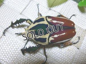 画像2: ウガンデンシスオオツノハナムグリ(カナブン)☆新成虫♂65ミリ単品販売 い