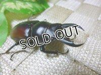 希少種!ドンキエール ドンキエール原名亜種(赤ドンキ)☆♂52ミリ単品販売