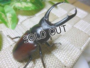 画像1: ドンキエール ドンキエールコクワガタ(赤ドンキ) 原名亜種☆初,2令幼虫3頭セット