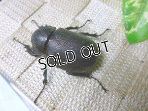 画像2: アトラスオオカブト☆♀フリーサイズ単品販売