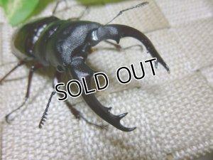 画像1: ボーリンフタマタクワガタ☆3令幼虫♀単品販売