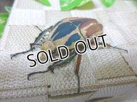 ウガンデンシスオオツノハナムグリ(カナブン)☆新成虫♂56ミリ単品販売 (3)
