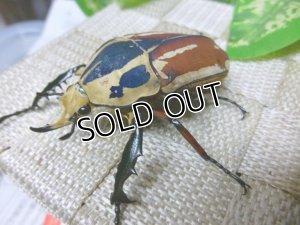 画像2: ウガンデンシスオオツノハナムグリ(カナブン)☆新成虫♂56ミリ単品販売 (1)
