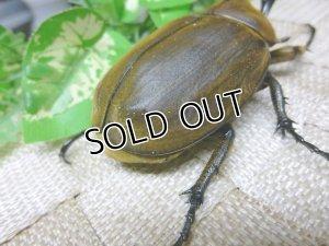 画像4: 美麗種!アヌビスゾウカブト☆♂77ミリ単品販売