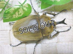 画像3: 美麗種!アヌビスゾウカブト☆♂77ミリ単品販売