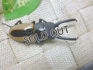 画像3: フルストファーノコギリクワガタ☆♂65ミリ単品販売