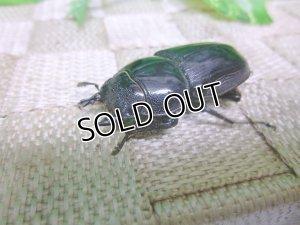 画像1: インドグランディスオオクワガタ☆♀42〜45ミリ新成虫単品