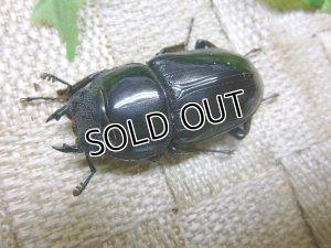 画像4: インドグランディスオオクワガタ☆♀42〜45ミリ新成虫単品