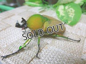 画像3: 美麗貴重種!プロイスビロードカナブン☆♂46ミリ新成虫単品販売