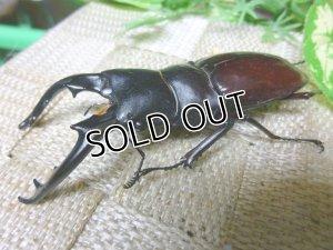 画像3: 7月17日迄販売終了!ボーリン(バミノルム)フタマタクワガタ☆3令終令、後期幼虫ペア