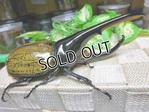 画像3: 当店極太血統!ヘラクレスパスコアリ☆♂135ミリ新成虫単品