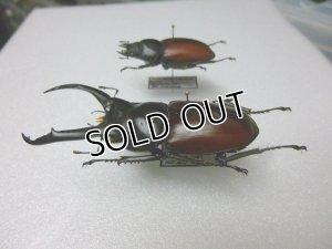 画像3: 標本 ドンキエールコクワ(赤ドンキ)☆♂68ミリ,♀40ミリペア