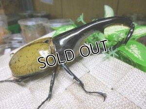 画像2: ヘラクレスヘラクレスオオカブト☆♂123ミリB品新成虫単品