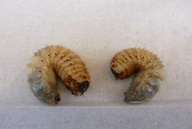 カブトムシ(幼虫)