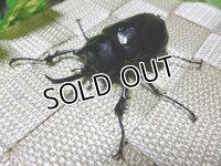 希少種!パチェコヒメゾウカブト☆新成虫♂56ミリ単品販売