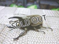 WILDからのグランディスコフキカブト☆♂42ミリ,♀32ミリ新成虫ペア販売