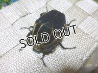 ウガンデンシスオオツノハナムグリ(カナブン)☆新成虫♀54ミリ単品販売 B