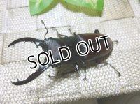 人気のフタマタ!ダビソンフタマタクワガタ☆♂67ミリ,♀43ミリ新成虫ペア販売