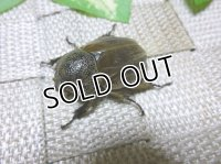 WILDからのグランディスコフキカブト☆♀29ミリ新成虫単品での販売