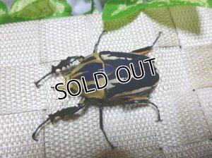 画像2: ウガンデンシスオオツノハナムグリ(カナブン)☆新成虫♂53ミリ単品販売 B