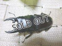 希少種!インド アルナーチャル産ヒペリオンssp ☆♂57ミリ,♀34ミリ新成虫ペア
