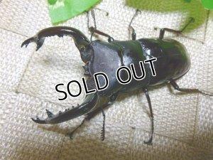 画像2: フォルスターフタマタクワガタ原名亜種☆初、2令幼虫3頭セット