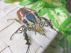 画像1: ウガンデンシスオオツノハナムグリ(カナブン)☆新成虫♂56ミリ単品販売 (1)