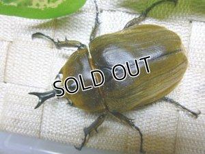 画像3: 美麗種!アヌビスゾウカブト☆♂80ミリ単品販売