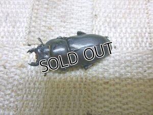 画像1: 激レア種!キルクネリウスキクロマトイデス☆即ブリ♀30ミリ前後単品販売
