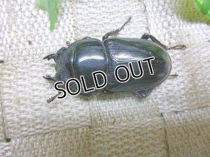 画像3: インドグランディスオオクワガタ☆♀42〜45ミリ新成虫単品