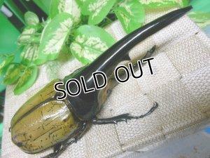 画像2: 標本用死虫 極太ヘラクレスオオカブト☆♂147ミリ