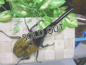 画像3: Amazonico血統 ♂165ミリ♀71ミリ(ギネス同腹ペア)からの3令幼虫ペア