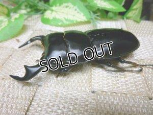 画像2: インドアンタエウス(ダージリン産)☆♂75ミリ,♀フリーサイズ新成虫ペア