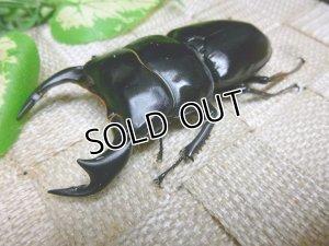 画像1: インドアンタエウス(ダージリン産)☆♂79ミリ,♀フリーサイズ新成虫ペア