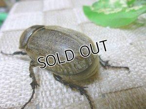 画像4: セール 20%OFF !ヨルゲンセンヒメゾウカブト☆♀40ミリ新成虫単品