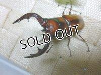 美麗種!トカラノコギリクワガタ☆♂67ミリ,♀フリーサイズ新成虫ペア