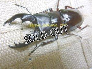 画像1: ボーリンバミノルムフタマタクワガタ☆初,2令幼虫4頭セット