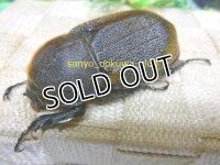 10月29日迄終了30%OFF  超極太血統!ヘラクレスパスコアリ☆♀71ミリ新成虫種付け販売