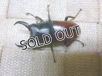 ホームページ限定 9月24日迄20%OFF!ドンキエール ドンキエール原名亜種(赤ドンキ)☆♂50ミリ♀35ミリ新成虫ペア